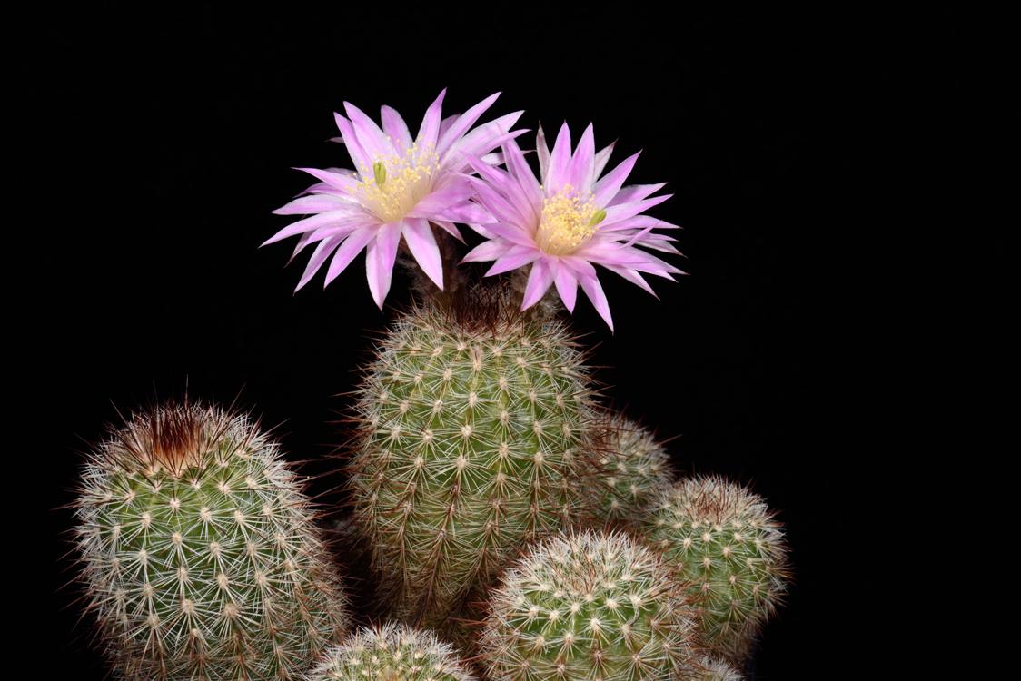 Echinocereus laui, Mexico, Sonora