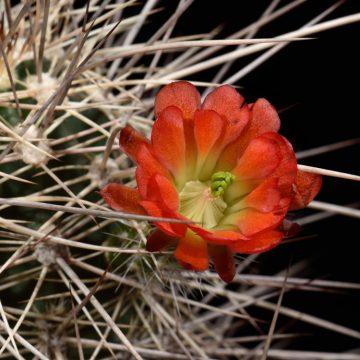 Echinocereus canyonensis fa. toroweapensis, USA, Arizona, Supai