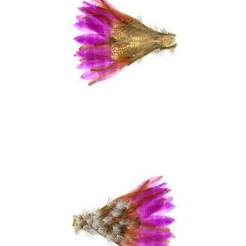 HMAO-003-1205 - Echinocereus reichenbachii miniature, USA, Texas