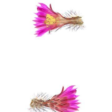 HMAO-003-1206 - Echinocereus adustus schwarzii, Mexico, Chihuahua, El Vergel