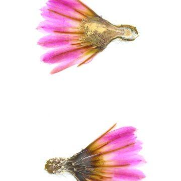 HMAO-003-1210 - Echinocereus pectinatus, Mexico, San Luis Potosi, Santo Domingo