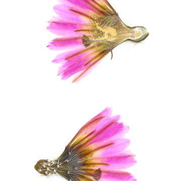 HMAO-003-1211 - Echinocereus pectinatus, Mexico, San Luis Potosi, Santo Domingo