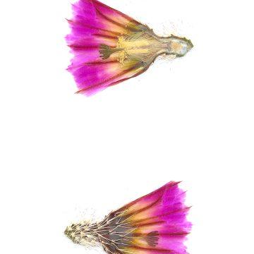 HMAO-003-1212 - Echinocereus pectinatus wenigeri, USA, Texas, Langtry
