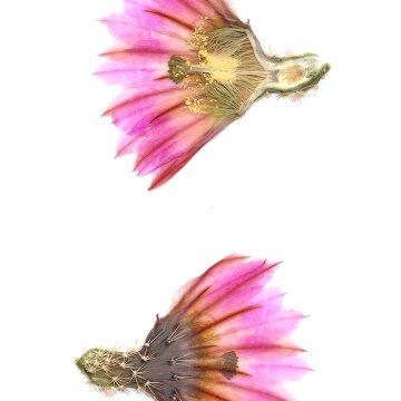 HMAO-003-1214 - Echinocereus pectinatus, Mexico, Coahuila, La Pena