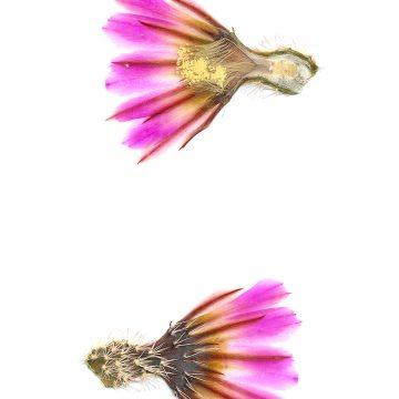 HMAO-003-1215 - Echinocereus pectinatus, Mexico, San Luis Potosi, westlich San Luis Potosi