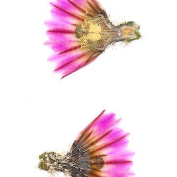 HMAO-003-1216 - Echinocereus pectinatus, Mexico, San Luis Potosi, westlich San Luis Potosi