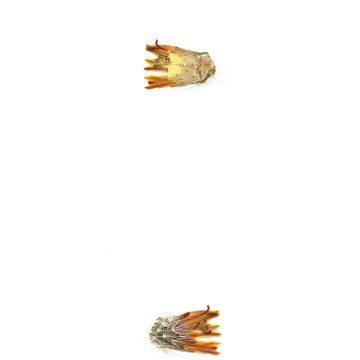 HMAO-003-1232 - Echinocereus neocapillus, USA, Texas