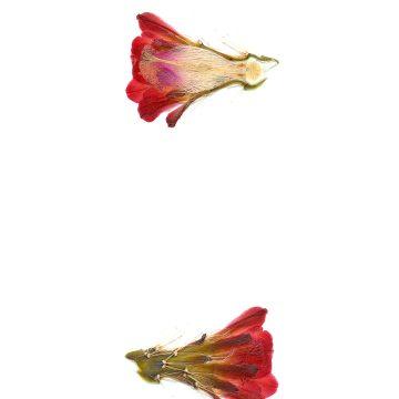 HMAO-003-1233 - Echinocereus coccineus gurneyi, USA, Texas, Marathon, Brewster Co., BW105