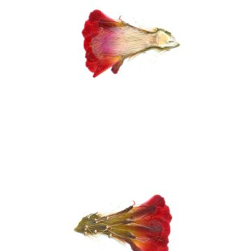 HMAO-003-1234 - Echinocereus coccineus gurneyi, USA, Texas, Marathon, Brewster Co., BW105