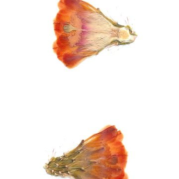 HMAO-003-1235 - Echinocereus coccineus roemeri, USA, Texas, Kimble Co., Segovia, BW113