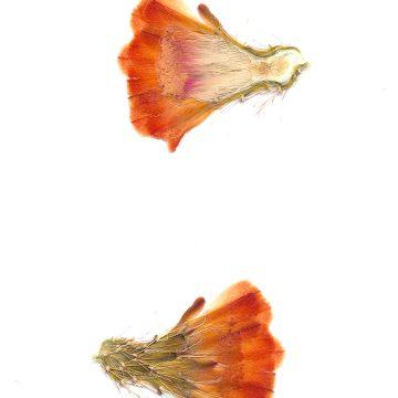 HMAO-003-1236 - Echinocereus coccineus roemeri, USA, Texas, Kimble Co., Segovia, BW113
