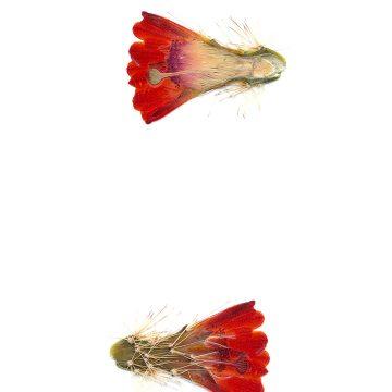 HMAO-003-1237 - Echinocereus spec., USA, New Mexico, La Luz