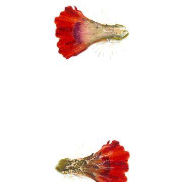 HMAO-003-1238 - Echinocereus spec., USA, New Mexico, La Luz