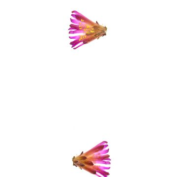 HMAO-003-1240 - Echinocereus knippelianus reyesii, Mexico, Nuevo Leon