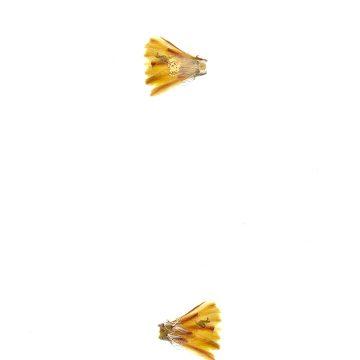 HMAO-003-1279 - Echinocereus davisii, USA, Texas, Brewster Co.