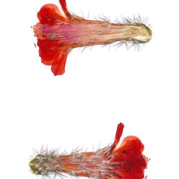 HMAO-003-1282 - Echinocereus topiensis, Mexico, El Durazno