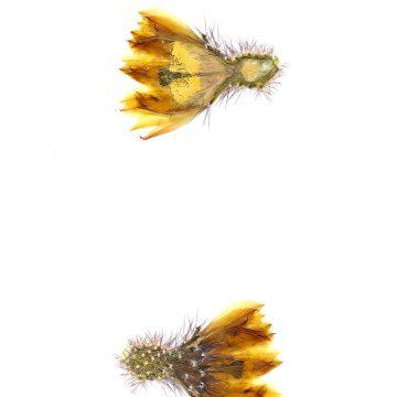 HMAO-003-1283 - Echinocereus subinermis aculeatus