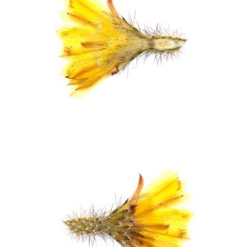HMAO-003-1284 - Echinocereus subinermis, Mexico