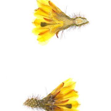HMAO-003-1285 - Echinocereus subinermis, Mexico