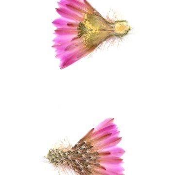 HMAO-003-1286 - Echinocereus scopulorum, Mexico, Sinaloa, Topolobampo