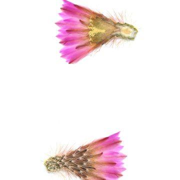 HMAO-003-1287 - Echinocereus scopulorum, Mexico, Sinaloa, Topolobampo