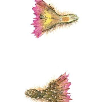 HMAO-003-1290 - Echinocereus websterianus, Mexico, Sonora, San Pedro Nolasco