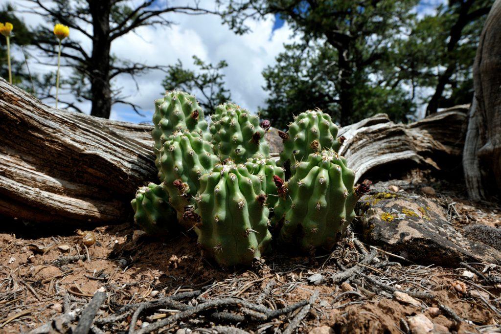Echinocereus mojavensis fa. inermis, USA, Utah, San Juan Co.