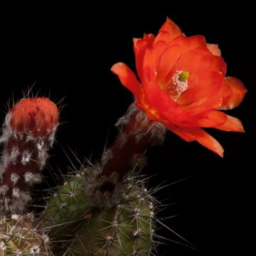 Zeitraffer Echinocereus topiensis, Mexico, Durango, Topia