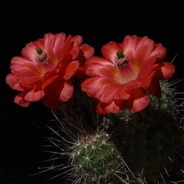 Echinocereus topiensis, Mexico, Durango, Topia (Video)