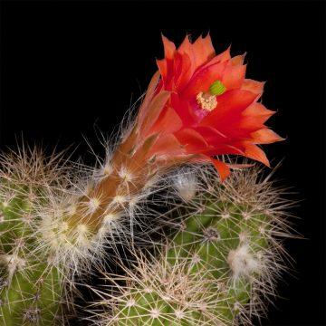 Zeitraffer Echinocereus scheeri subsp. paridensis, Mexico, Sonora, Choix (Video)