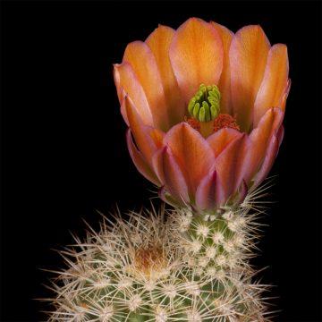 Zeitraffer Echinocereus xlloydii, USA, Texas, Pecos County (Video)