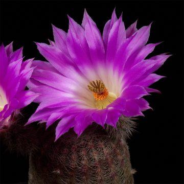 Zeitraffer Echinocereus rigidissimus, Mexico, Sonora, Hermosillo - San Nicolas (Video)