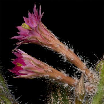 Zeitraffer Echinocereus scheeri, Mexico, Chihuahua, Moris (Video)