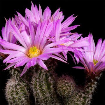 Zeitraffer Echinocereus metornii, Mexico, Coahuila, Sierra Mojada (Video)