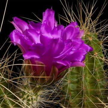 Zeitraffer Echinocereus viereckii subsp. santamariensis, Mexico, Nuevo Leon, Huasteca Canyon (Video)