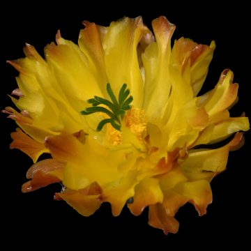20 Close Up's von Echinocereus Blüten (Video)