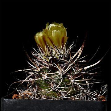 Echinocereus davisii, USA, Texas, Brewster County (Video)