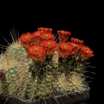 Echinocereus coccineus, USA, New Mexico, Taos County (Video)