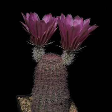 Echinocereus pectinatus, Mexico, Chihuahua, El Morrion (Video)
