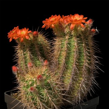 Echinocereus polyacanthus, Mexico, Chihuahua, Santa Clara Canyon (Video)
