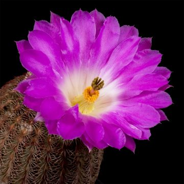 Zeitraffer Echinocereus rigidissimus, Arizona, Madera Canyon (Video)