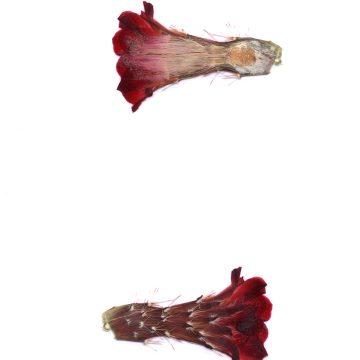 HMAO-003-1568 - Echinocereus pacificus mombergerianus, Mexico, Baja California, Sierra San Pedro Martir