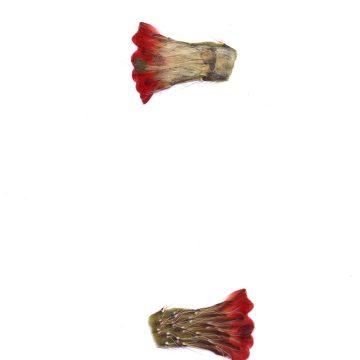 HMAO-003-1569 - Echinocereus coccineus, USA, New Mexico, Bernalillo Co., Sandia