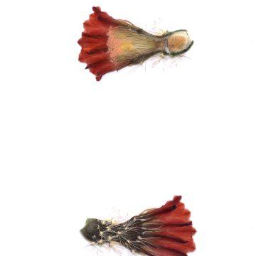 HMAO-003-1570 - Echinocereus dasyacanthus, USA, Texas, Brewster Co., Santa Elena Canyon