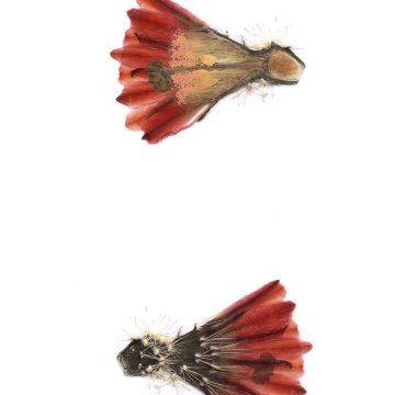 HMAO-003-1571 - Echinocereus dasyacanthus, USA, Texas, Brewster Co., Santa Elena Canyon