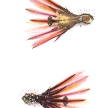 HMAO-003-1572 - Echinocereus xllyodii, USA, Texas