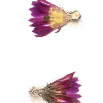 HMAO-003-1573 - Echinocereus freudenbergeri, Mexico, Coahuila, Sierra de la Paila