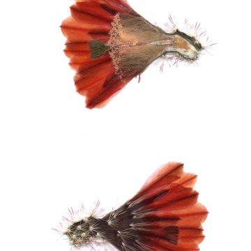 HMAO-003-1574 - Echinocereus xllyodii, USA, Texas, Pecos Co.