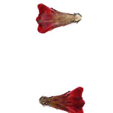 HMAO-003-1575 - Echinocereus mojavensis inermis, USA, Utah