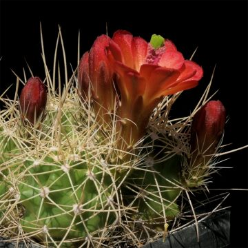 Echinocereus mojavensis, USA, Utah, San Juan County (Video)